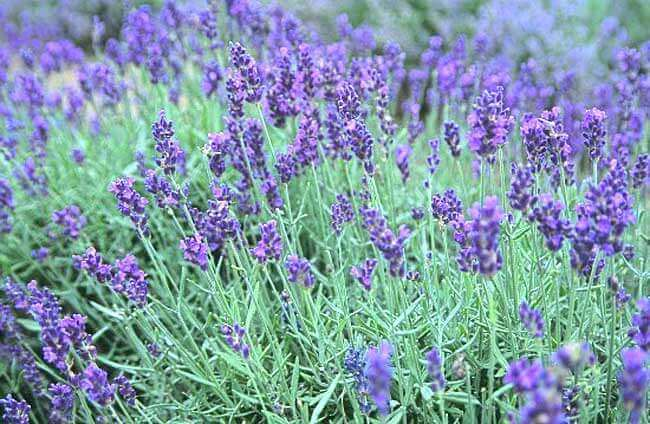 how-to-keep-dogs-out-of-your-yard-lavender