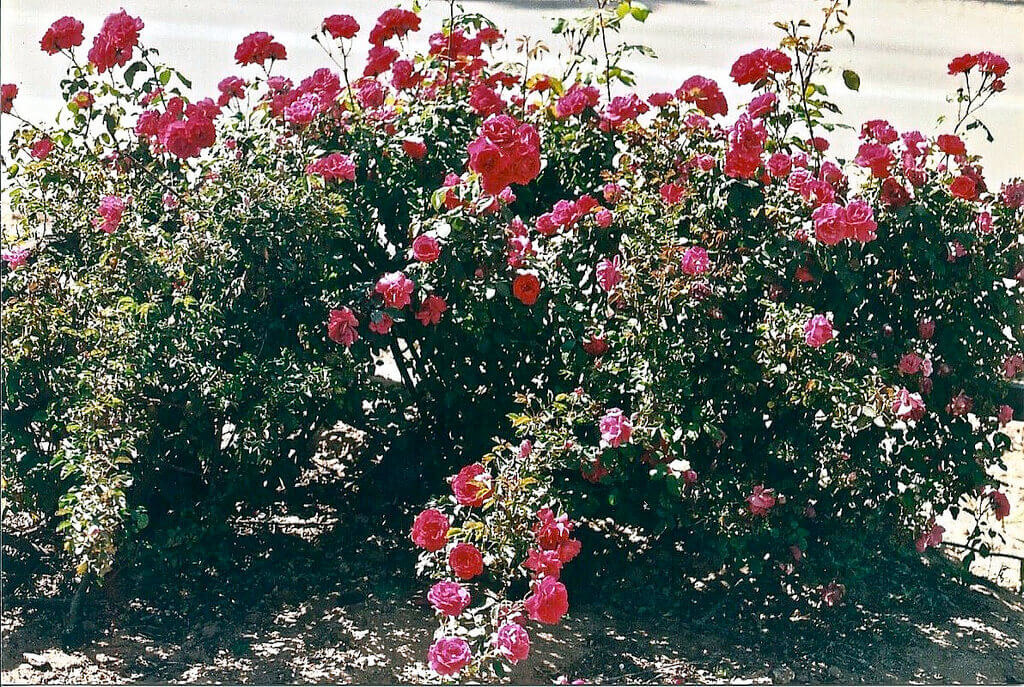 how-to-keep-dogs-out-of-your-yard-rose_bush