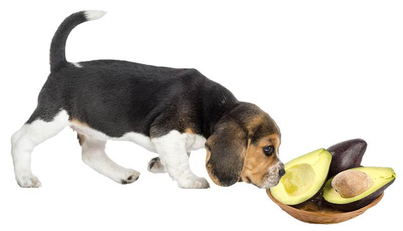 Can Dog Eat Avocado?