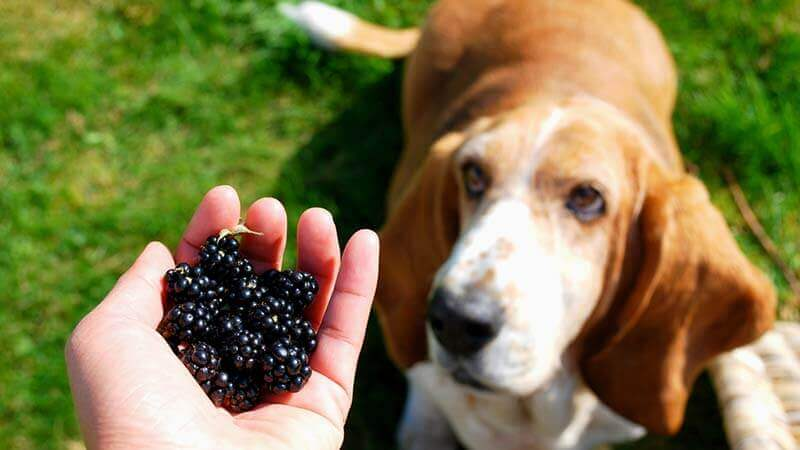 Can Dog Eat Blackberries?