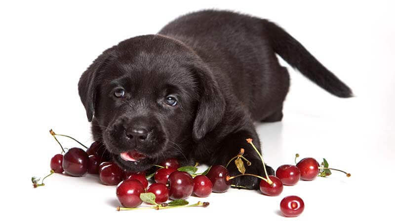 Can Dog Eat Cherries?